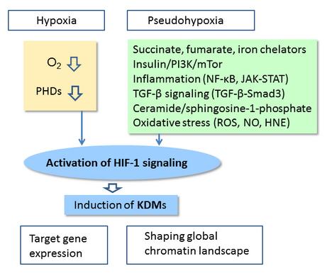 HIF-1a signaling