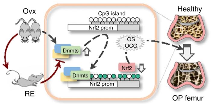Nrf2 promoter demethylation