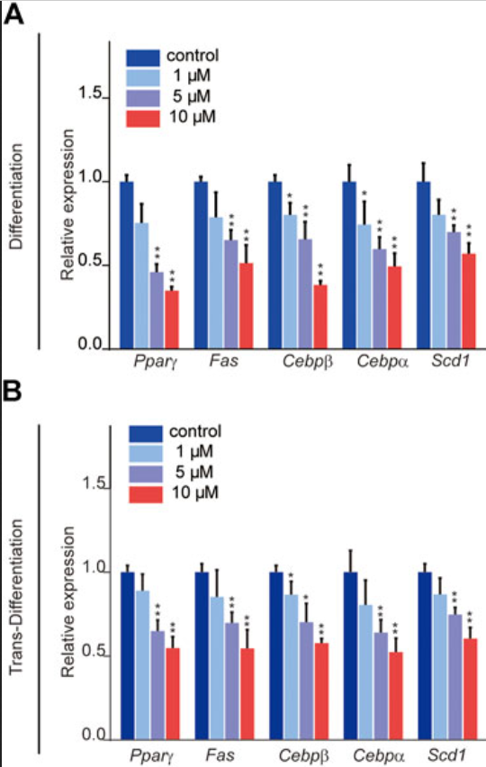 sulforaphane influences fat cells
