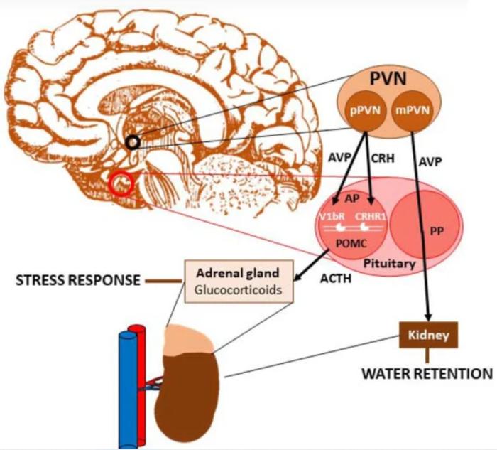 vasopressin stress axis