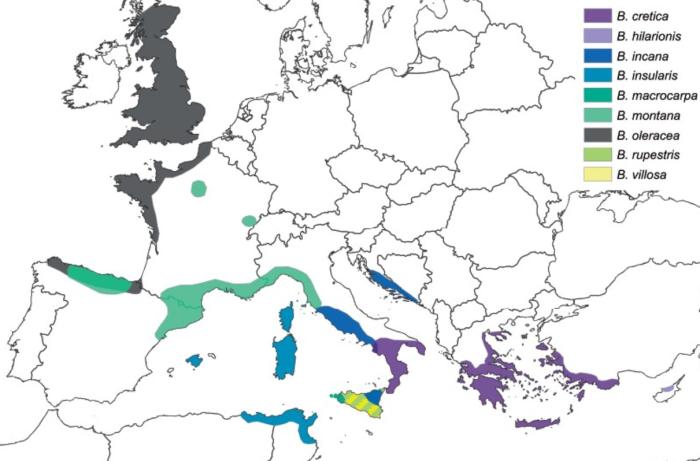 brassicae origins