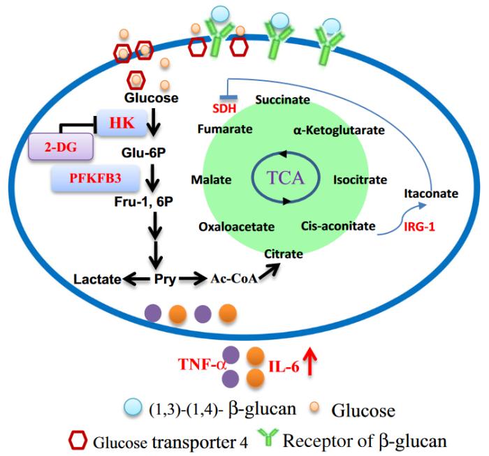 oat beta glucan trained immunity